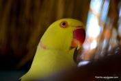 Yellow parakeet