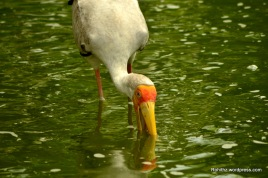 Milky storks are mainly found in Southeast Asia