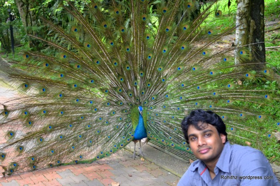 With the opened  Peacock