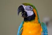 Yellow blue macaw