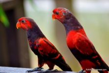 Red lory parakeets