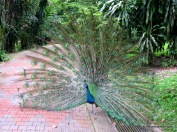 Indian blue peacock-Our nation bird..
