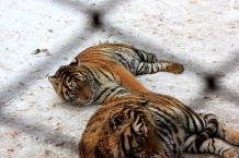 Siberian Tigers, Siberian Tiger park, Harbin China