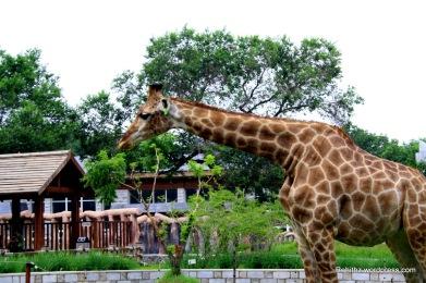 Giraffe at CC zoo
