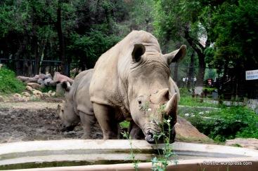 Rhino at Changchun Zoo