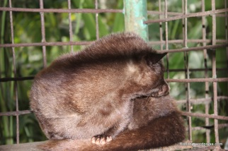 Our guide poked this nocturnal cat with a stick and disturbed it's sleep. It was quite depressing to see that..
