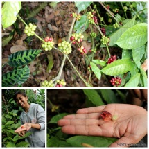 Local guide showing the Coffee beans..
