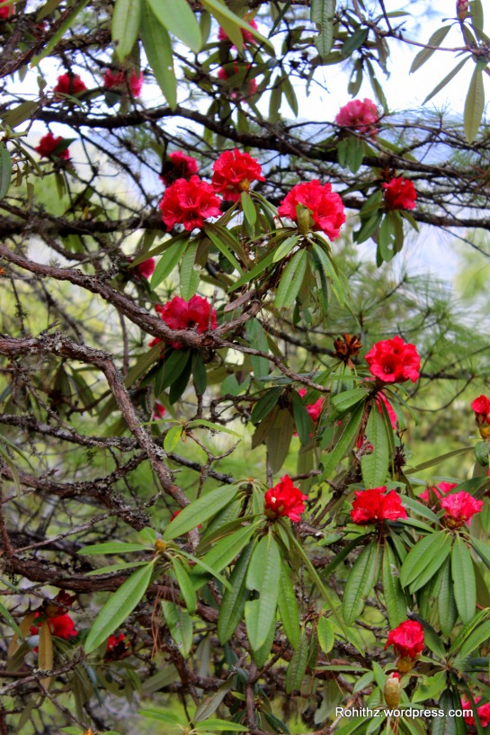 Rhododendron Arboreum: Mainly found in Himalayas is a ever green shrub a.k.a burgans/gurgans is also known to have few medicinal properties. Consider the tune, not the voice; consider the words, not the tune; consider the meaning, not the words.
