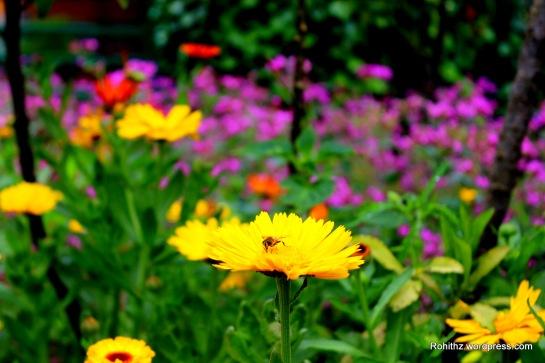 Gangtok flower exhibition (14)