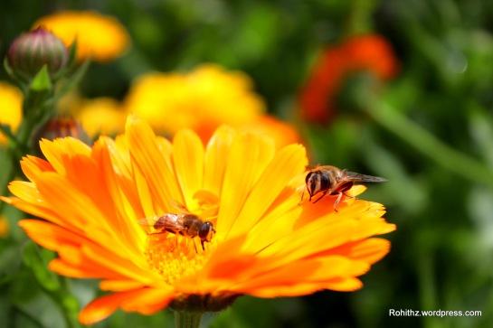 Gangtok flower exhibition (16)