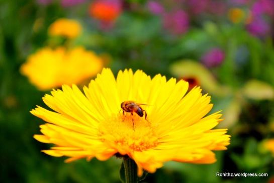 Gangtok flower exhibition (18)