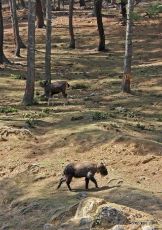 Thimphu zoo. (8)